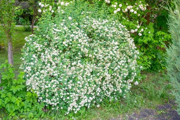 피는 봄 꽃. lobularia maritima 꽃(alyssum maritimum, sweet alyssum, sweet alison)은 브라시카세아과에 있는 저성장 꽃 식물의 종입니다.