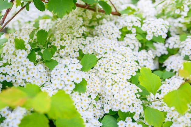 咲く春の花。 lobularia maritimaの花(alyssum maritimum、sweet alyssum、sweet alison)は、アブラナ科の低成長顕花植物の一種です。