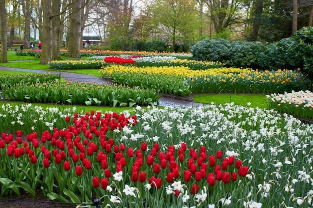 Цветущие весенние цветы тюльпаны и нарциссы на грядке в парке
