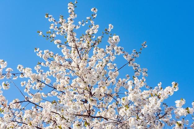 咲く春の果樹
