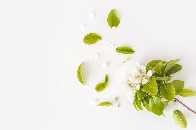 白い背景、花のフレーム、上面図、フラットなレイアウトで咲く春梨の枝。春のコンセプト。