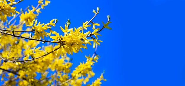 Blooming spring yellow shrub flowers - forsythia intermedia border forsythia . small yellow flowers on a branch against a blue sky. place for text