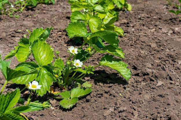 . цветущий куст клубники. цветение кустов клубники в саду