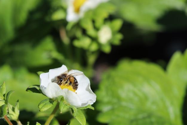 유기농 농장에서 벌과 함께 꽃이 만발한 딸기