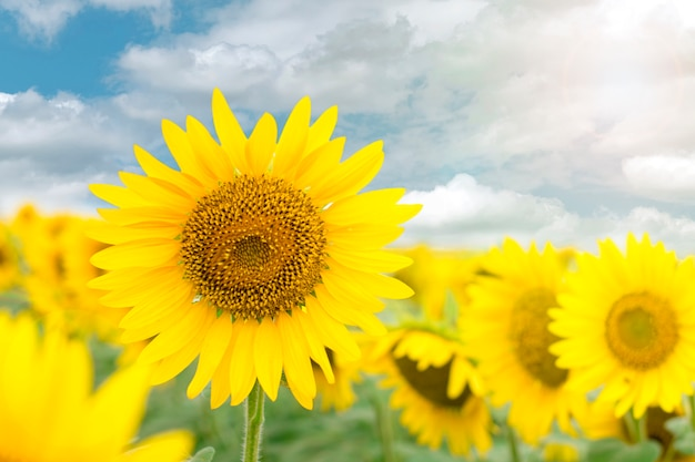 Blooming sunflower in the blue sky background.