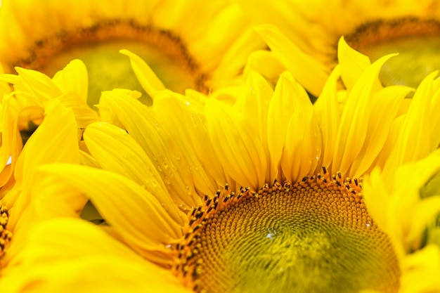 Цветущий подсолнух заделывают. большие желтые цветы, осенний фон.