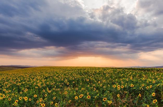 Цветущее подсолнечное поле во время заката