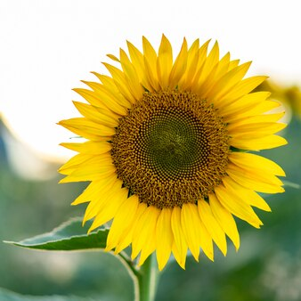 Blooming sunflower in the field. ecology, organic farming, gardening and nature concept.