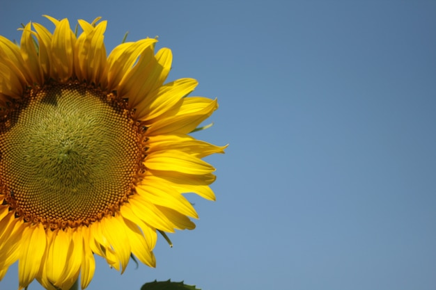 Blooming sunflower on the garden in the fresh day time vacation