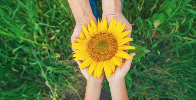 Цветущий подсолнух в руках