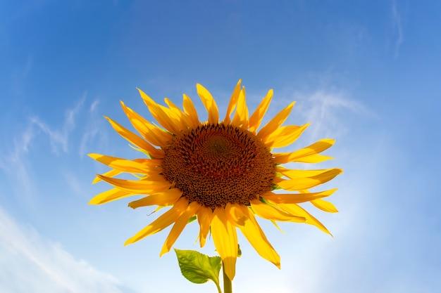 Цветущий подсолнух в солнечном свете на фоне яркого неба