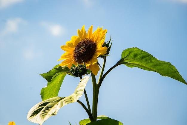 青い空を背景に夏の太陽に咲くひまわり。