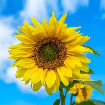 Цветущий подсолнух над голубым небом, крупным планом