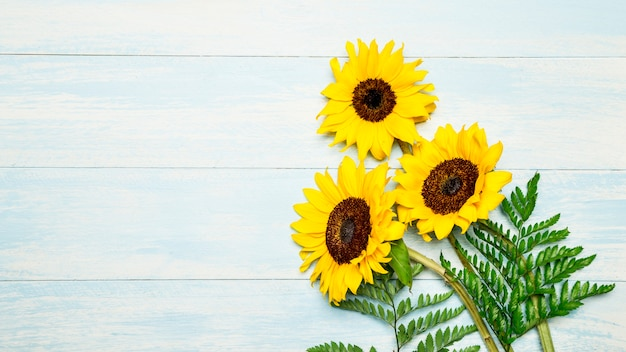 Blooming sunflowers on blue background