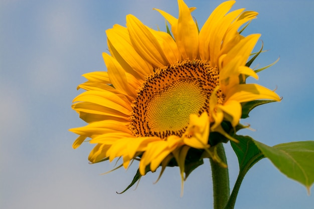 Blooming sunflowers on a  blue sky