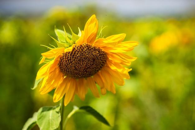 フィールドの夏の風景に咲くひまわり