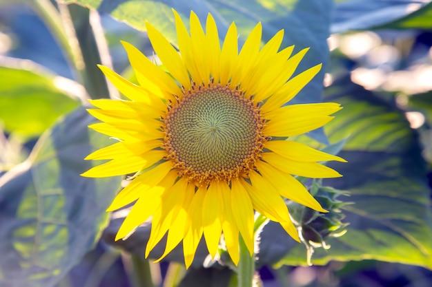 Цветущие подсолнухи в солнечном свете. агрономия, сельское хозяйство и ботаника.