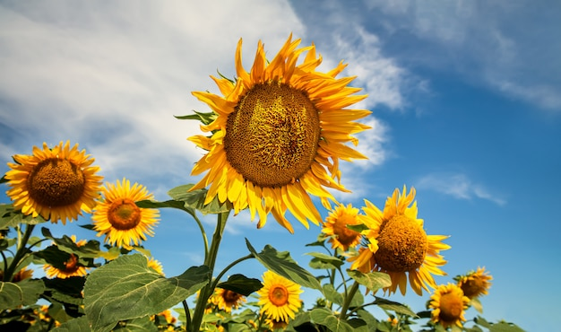 Blooming sunflowers natural. summer landscape with sunflowers field
