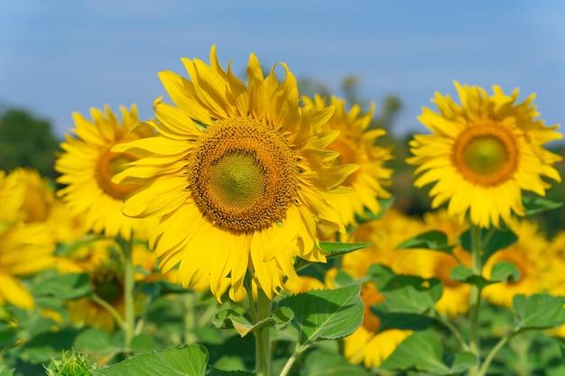 Цветущие подсолнухи на естественном фоне, поле подсолнухов на фоне неба