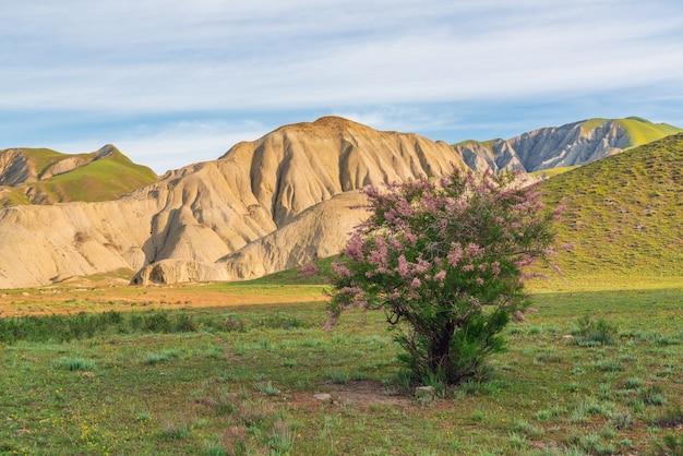 Цветущие кусты тамарикса в горной долине
