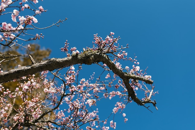Blooming tree branch with pink flowers against a blue clear sky in spring