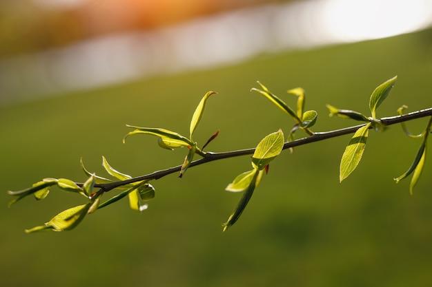 Цветущее дерево весной. бутоны раскрываются.