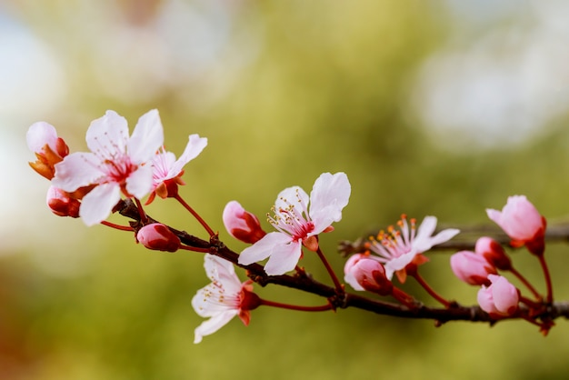 Blooming tree in spring time with pink flowers