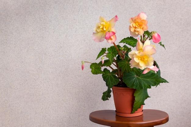 냄비에 피 결절 베고니아. 무성한 노란색에서 분홍색 꽃과 질감이있는 신선한 잎. 복사 공간.