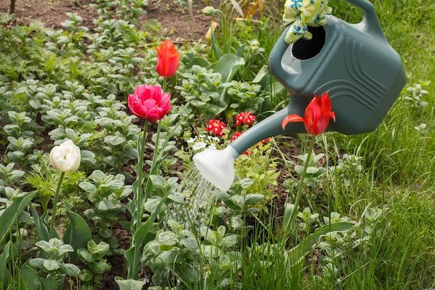 꽃이 만발한 튤립은 정원에서 플라스틱 물 뿌리개로 물을 받고 있습니다.