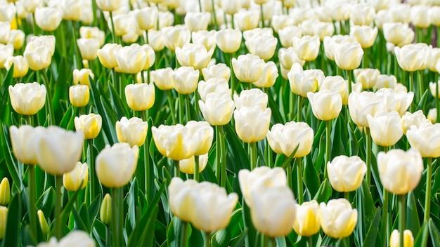 咲くチューリップ。美しい春と夏の背景。春の花。