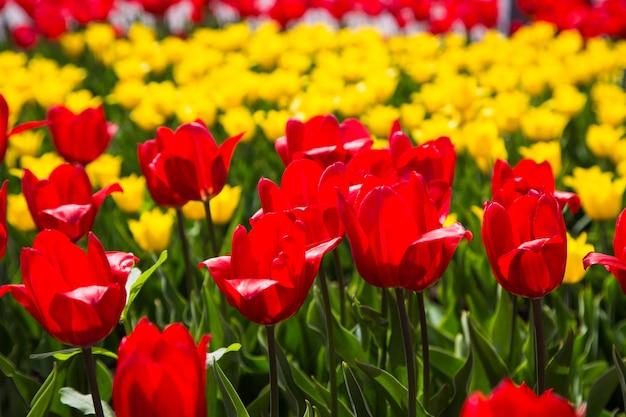 咲くチューリップ。美しい春と夏の背景。