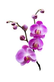 이국적인 보라색 난초 꽃의 개화 나뭇가지