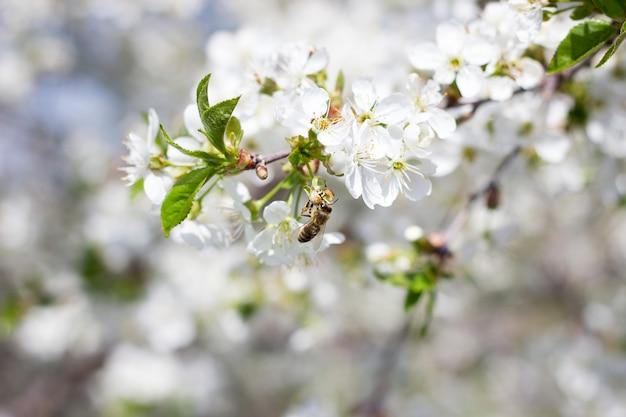 Blooming twigs of cherry. flowering trees large plpnom spring.