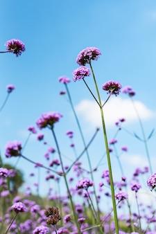 咲くバーベナ畑は紫色の花です。この花の意味は家族全員の幸せです。その上、バーベナもまた別の意味です。私のために祈ってください。