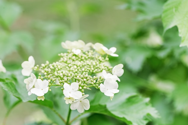 Цветущая калина с белыми цветами. весенние цветущие сады. фон природной среды.