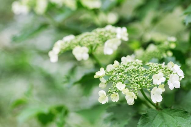 白い花と咲くガマズミ属の木