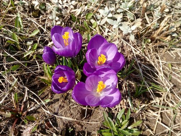 Цветущий фиолетовый крокус весной на коричневой земле
