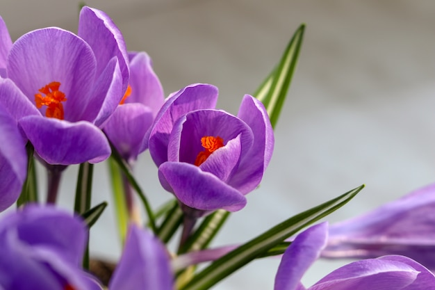Blooming violet crocuses on grey background