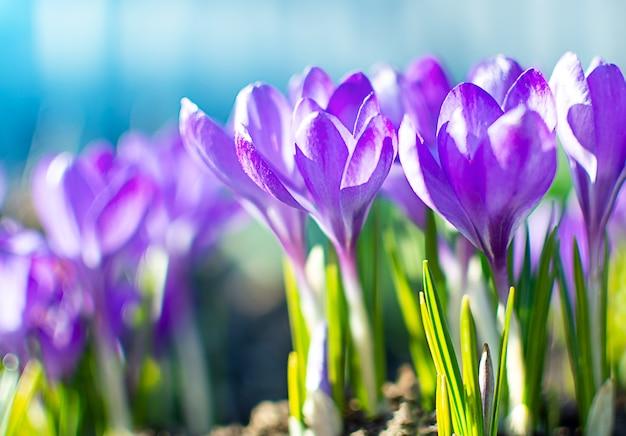 咲く紫のクロッカス。