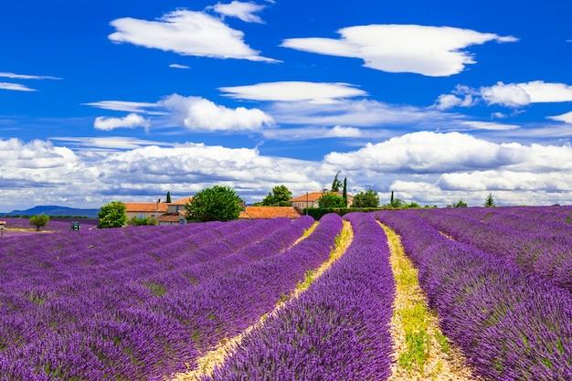 Цветущие фиолетовые лаванды в провансе, франция