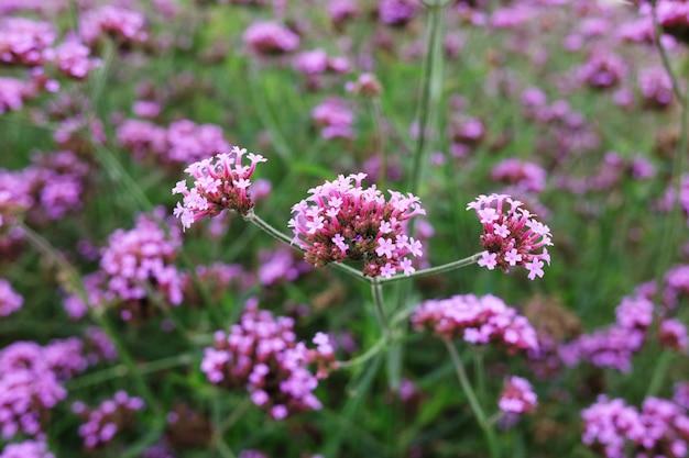 牧草地で自然な日光と紫のバーベナの花が咲く