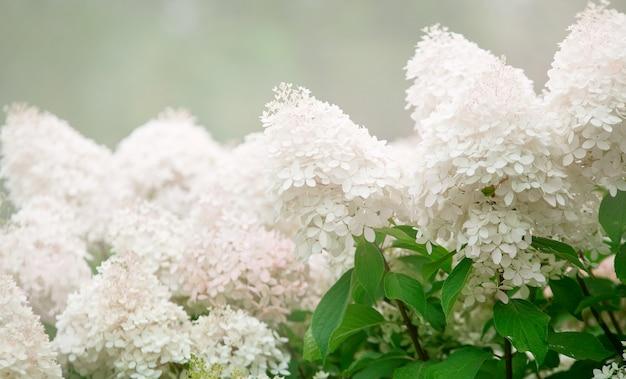 咲く白とピンクのアジサイの茂み夏の日の背景