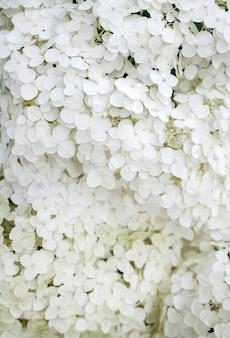 Цветущая белая annabelle hydrangea arborescens. крупный план