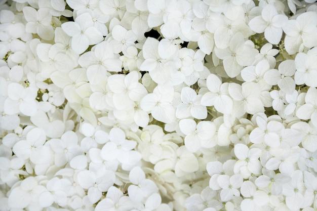 咲く白いアナベルアジサイ樹木。閉じる