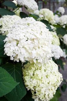Цветущая белая аннабель гортензия древовидная