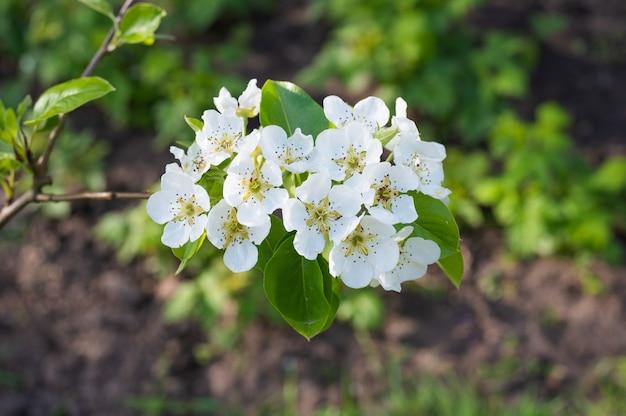 흰색 사과 꽃이 피고 닫습니다.