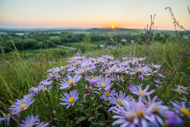 Blooming white blue wild daisies