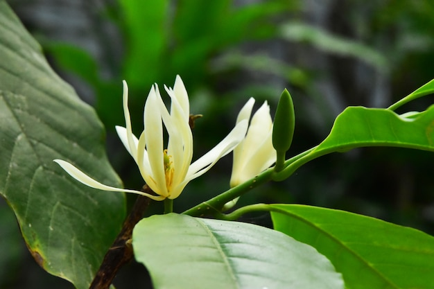The blooming white champaka on the tree