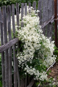 Blooming white clematis on the wooden village fence. summer composition.