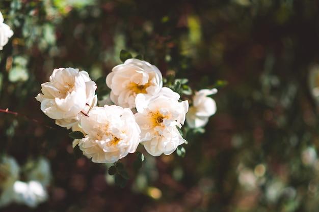 Blooming white dog rose among greenery closeup background